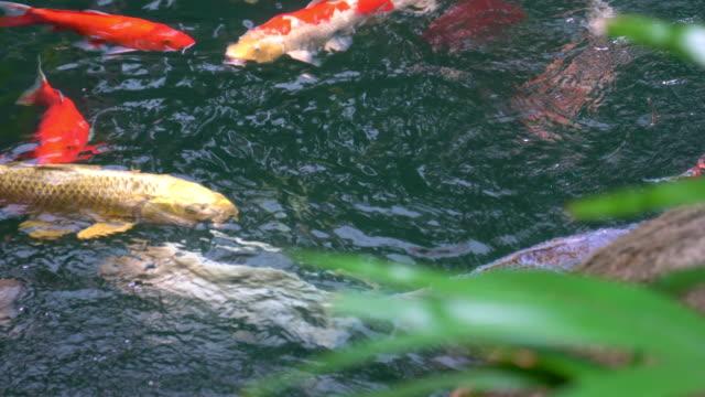 stockvideo's en b-roll-footage met 4k koi karper vissen in de heldere vijver - carp