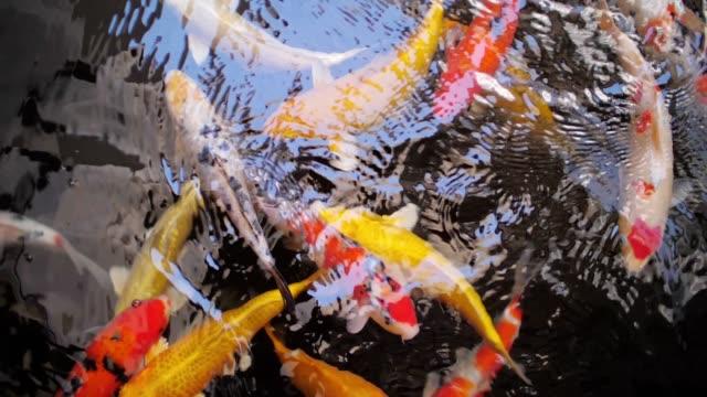 stockvideo's en b-roll-footage met koi karper vissen, slow motion - carp