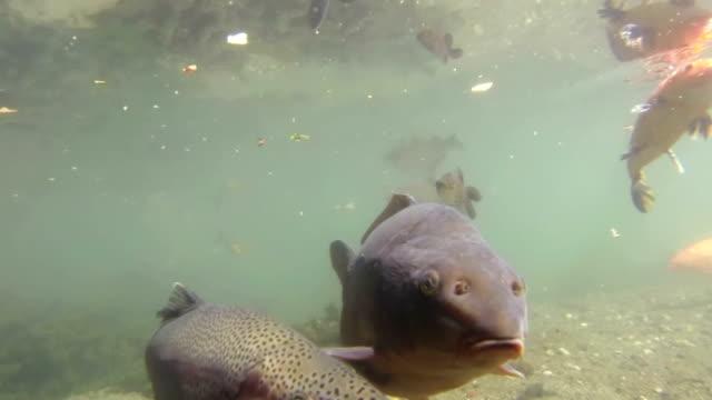 stockvideo's en b-roll-footage met koi carp fish underwater - carp