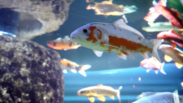 stockvideo's en b-roll-footage met koi karper in fishtank - carp