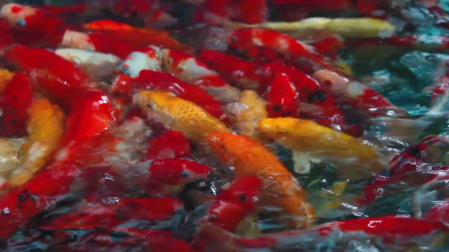 stockvideo's en b-roll-footage met koi karpers vissen zwemmen mooie kleurvariaties - vachtpatroon