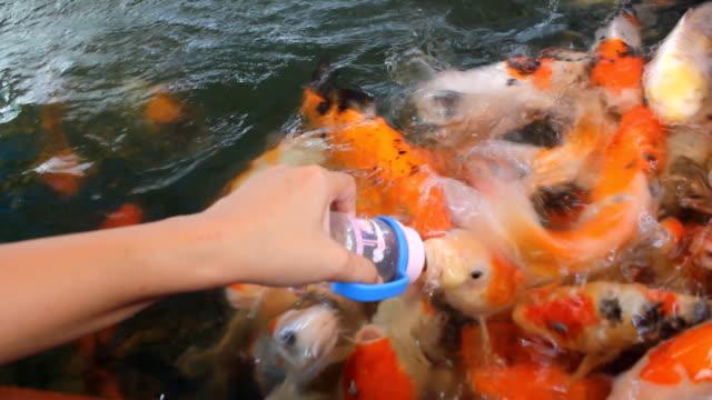 koi carps swimming and drinking milk - pet bottles bildbanksvideor och videomaterial från bakom kulisserna
