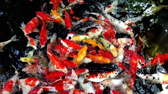 Koi fish colorful swim on the pond black background.