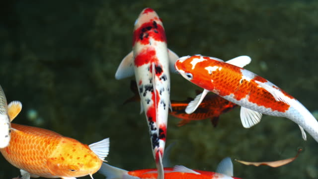 koi fish, fancy carp are swimming in above - пруд стоковые видео и кадры b-roll