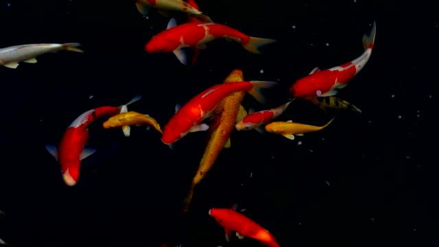 stockvideo's en b-roll-footage met koi vissen, fancy karper vis zwemmen in de vijver, bovenaanzicht en slow motion - carp