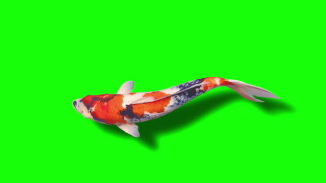 Koi Fish (loopable) green background animation video