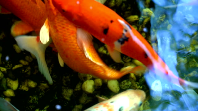 stockvideo's en b-roll-footage met koi vissen of amoer karper vis zwemmen in de vijver. het meer in het bijzonder de nishikigoi en gekleurde rassen van de karper in openlucht in vijver en watertuin. - carp