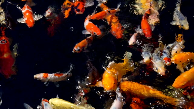 Koi fish slow motion. video