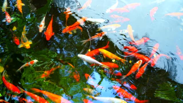 stockvideo's en b-roll-footage met koi vissen zwemmen in het water is een mooie - carp