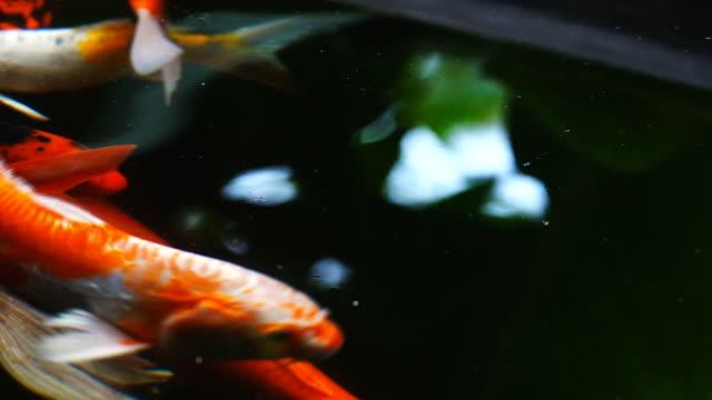 stockvideo's en b-roll-footage met koi vissen zwemmen op vijver, slow-motion. - carp