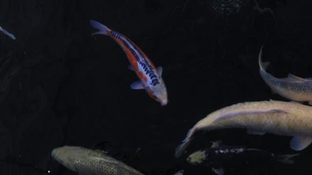 koi balık berrak suda yüzme, siyah arka plan - i̇htiyoloji stok videoları ve detay görüntü çekimi