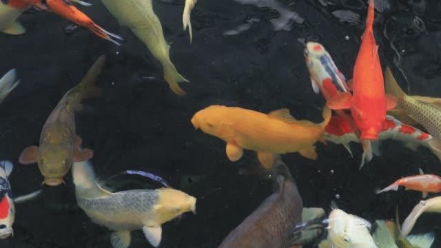 koi balık berrak suda yüzme - i̇htiyoloji stok videoları ve detay görüntü çekimi