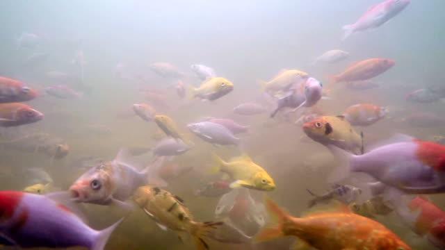 Koi fish underwater video