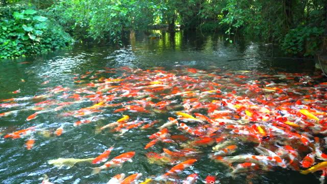 vídeos y material grabado en eventos de stock de peces koi - charca
