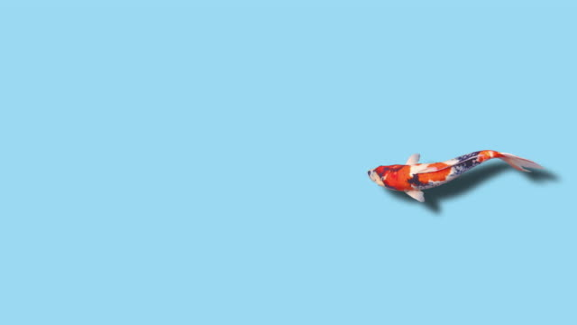 Koi Fish (loopable)
