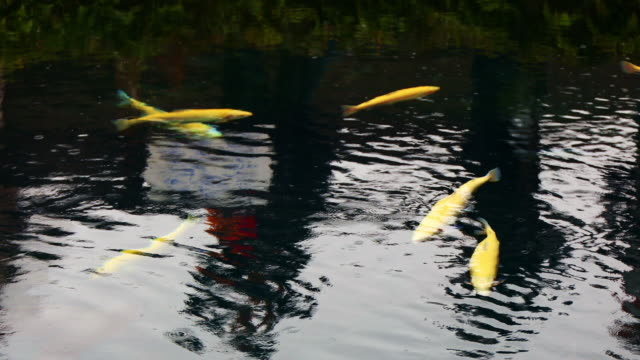 Koi fishes or Cyprinus video
