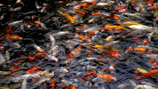 stockvideo's en b-roll-footage met koi of karper vissen in vijver - carp