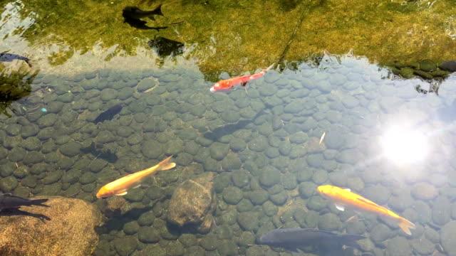 vidéos et rushes de koi reflet de la piscine dans le jardin de la piscine, à l'ombre de nice - lac reflection lake