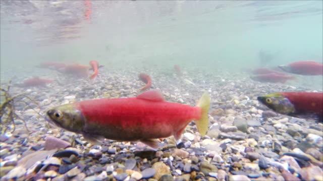 Kokanee Salmon (slow motion) video