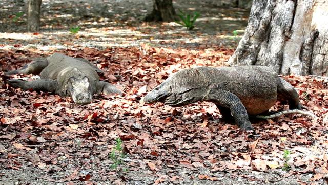 dragon de Komodo couple - Vidéo