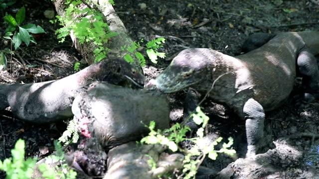 Komodo dragon eats a young buffalo. Rinca Island, Indonesia video