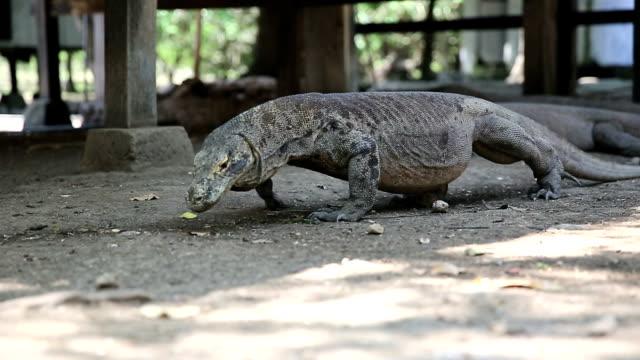 Komodo Dragon, the largest lizard in the world, Rinca Island, Indonesia. video
