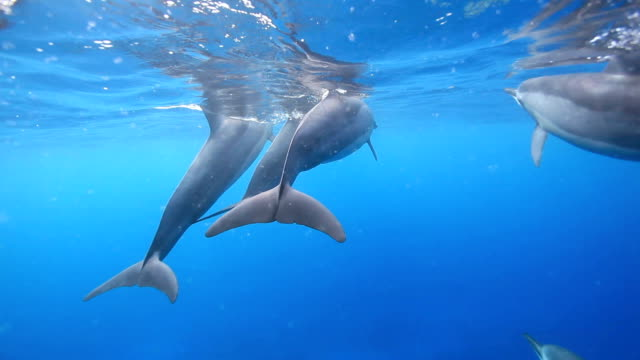 Kona, Hawaii To shoot the dolphins in Hawaii Island dolphin stock videos & royalty-free footage