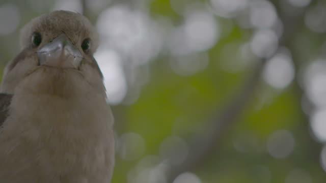 Kookaburra sitting in a tree video