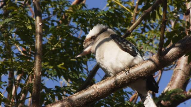 kookaburra video