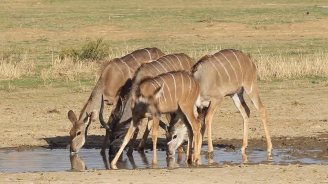 vidéos et rushes de koudou antelopes boire - plan d'eau