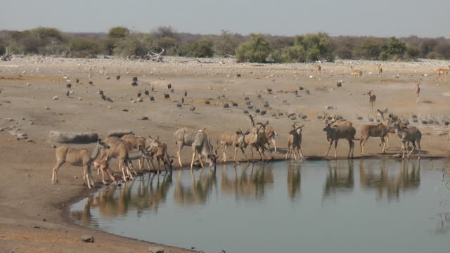 vidéos et rushes de kudu potable. - plan d'eau
