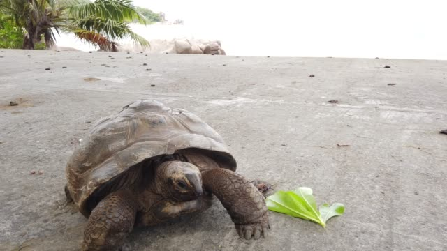 La Digue Giant Tortoise on the road close up of a Aldabra Giant Tortoise, Aldabrachelys gigantea on the road. Tourist attraction of Seychelles, Indian Ocean. Natural sea background in Anse Severe beach road of La Digue island. giant tortoise stock videos & royalty-free footage