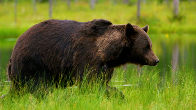 laage adult brown bear walking and running free in the forest - bear stock videos and b-roll footage