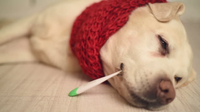 Labrador beautiful adult is sick with a thermometer video