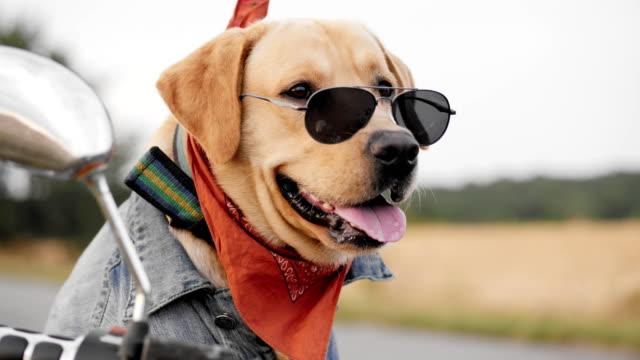 vidéos et rushes de chien labrador dans lunettes de soleil - moto sport