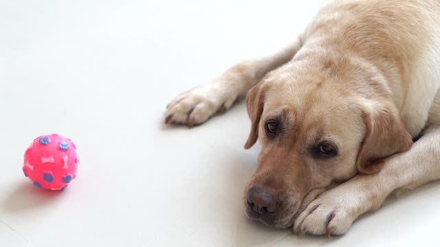 labrador dog lying on floor with ball and looking into camera. beige labrador dog relaxing on floor in home room. domestic animal and pets - fedeltà video stock e b–roll