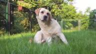 istock Labrador dog on green grass 1259765196