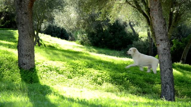 Labrador dog - senior dog - walking trough in backlit video
