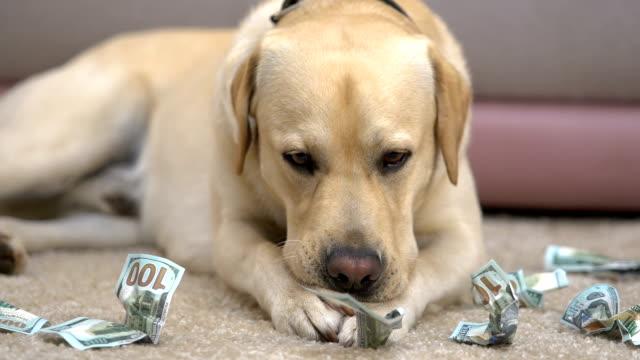 Labrador eating dollar banknotes on floor closeup, pet behavior problem, credit