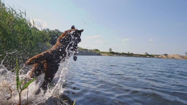 slo mo labrador hoppar i vattnet - hunddjur bildbanksvideor och videomaterial från bakom kulisserna