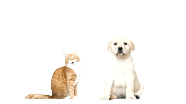 Labrador puppy and red cat on a white background