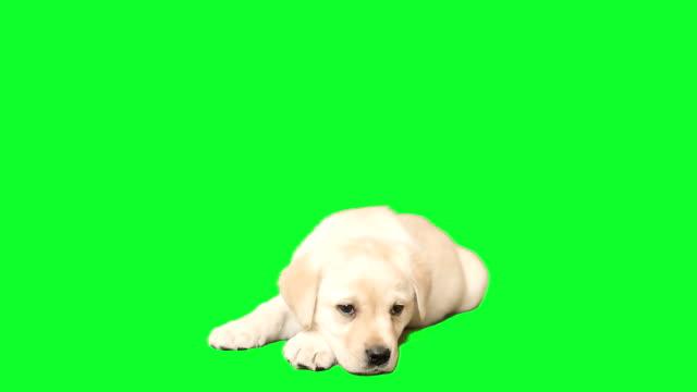 лабрадор щенок находится и луки - молодое животное стоковые видео и кадры b-roll