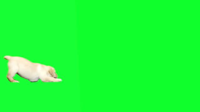 labrador hundvalp spelar - puppies bildbanksvideor och videomaterial från bakom kulisserna