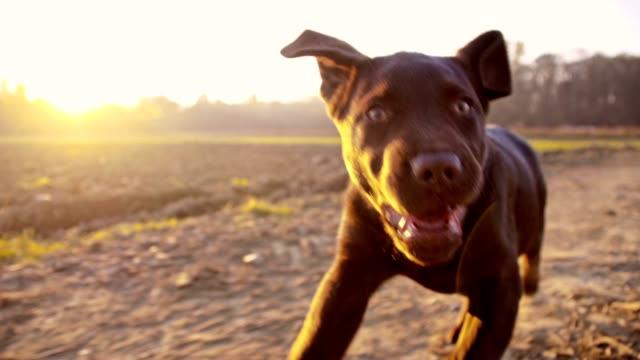 スローモーションラブラドール子犬のランニングにフィールド - イヌ科点の映像素材/bロール
