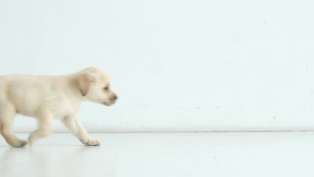 Labrador puppy runs from left to right Labrador puppy runs from left to right puppy stock videos & royalty-free footage
