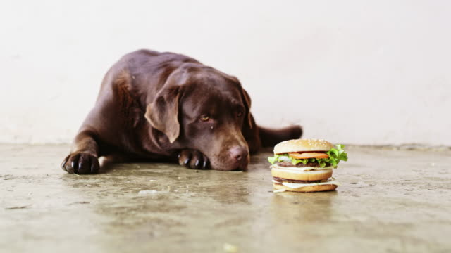 SLO MO Labrador Retriever looking at hamburger Slow motion wide shot of a Labrador Retriever laying beside a hamburger. Also available in 8K resolution. indulgence stock videos & royalty-free footage