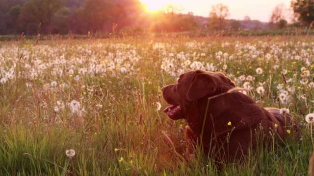 SLO MO DS Labrador retriever lying in grass among dandelions video