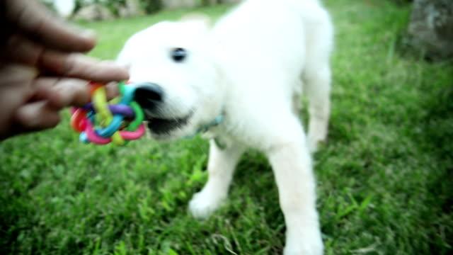 Labrador retriever puppy playing video