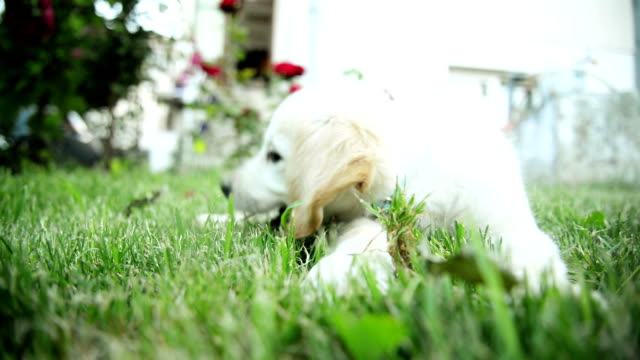 Labrador cachorro - vídeo