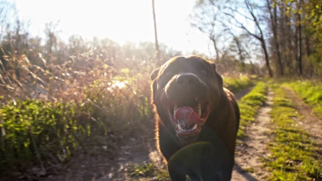 SLO MO Labrador retriever running in the nature Slow motion camera stabilization shot of a labrador retriever running on a dirt road along the river. purebred dog stock videos & royalty-free footage